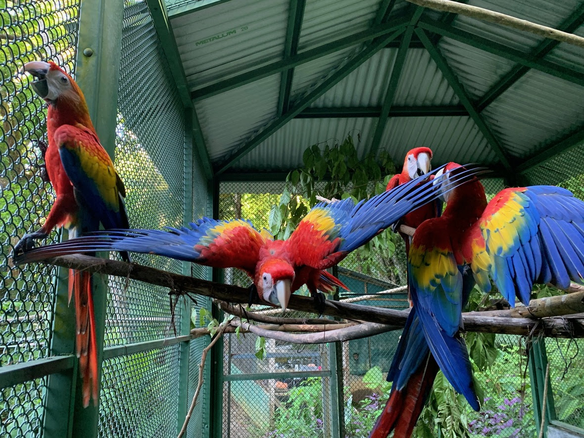 Four macaws in flight enclosure, one with wings outstretched and oriented towards camera
