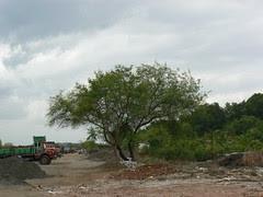 Tomentose Nile Acacia