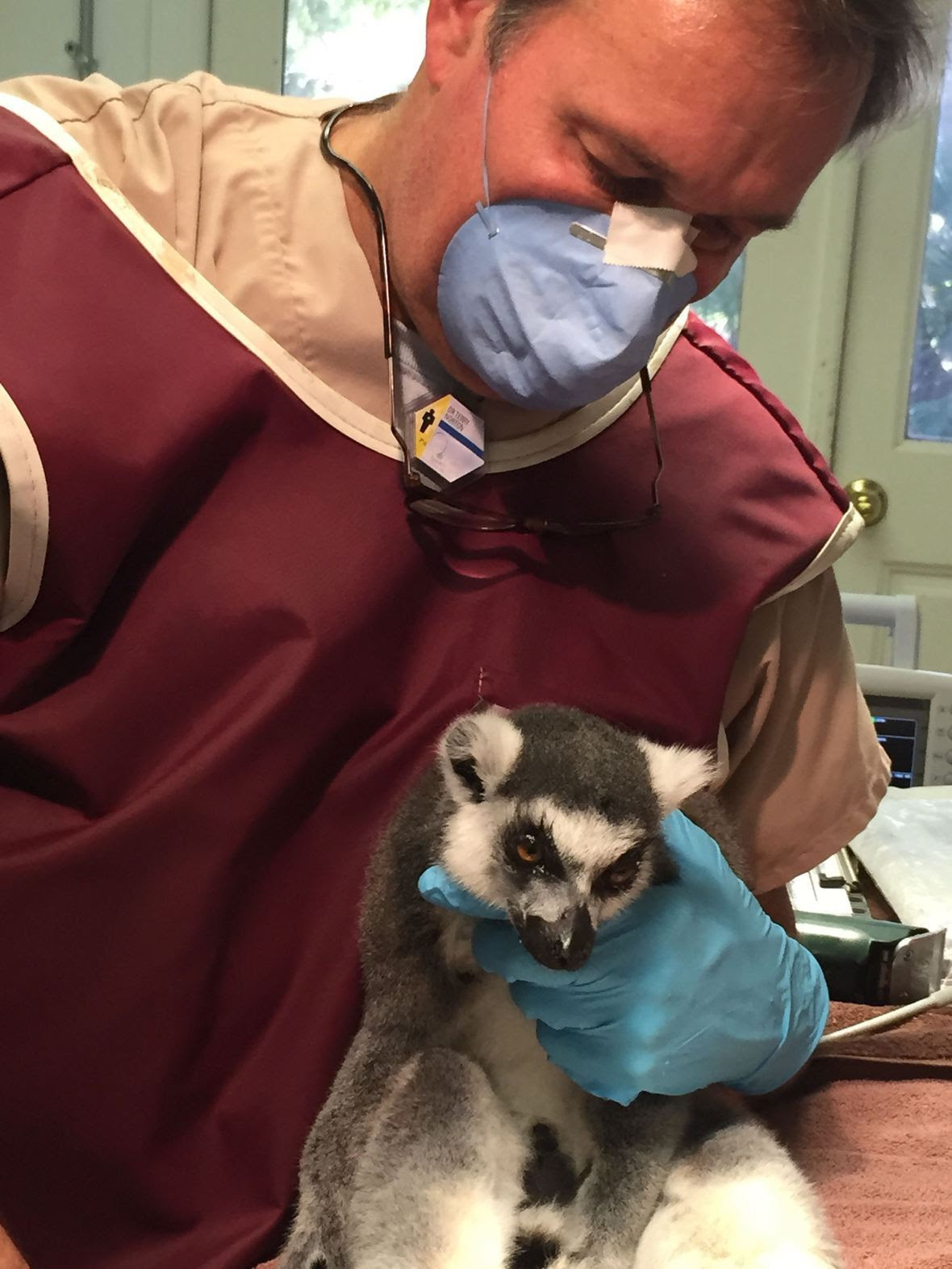 Lemur coming out of anesthesia.