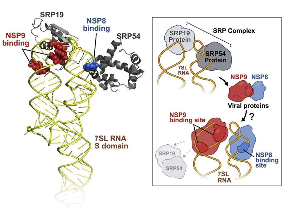 NSP8 and NSP9 binding to 7SL RNA