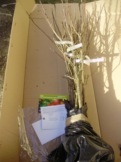 Beautifully packed apple trees with proper documentation sent by Blackmoors Nursery.