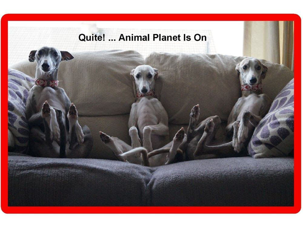Image result for greyhound watching tv
