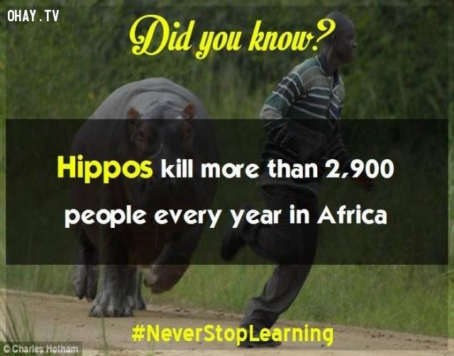 9. Hà mã giết hơn 2.900 người mỗi năm ở châu Phi.,sự thật thú vị,những điều thú vị trong cuộc sống,khám phá,sự thật đáng kinh ngạc,có thể bạn chưa biết
