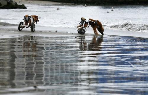 Cães paraplégicos andam de cadeira de rodas em praia de Chorrillos, na região de Lima, no Peru, em foto de 7 de setembro (