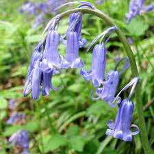 English and Spanish Bluebells: Features, Facts, and Problems - Owlcation