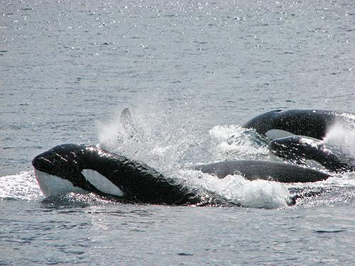 Orcas02.jpg