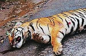 Ein Tiger, der im Pench-Nationalpark in Indien mutmaßlich von einem Parkwächter getötet wurde.