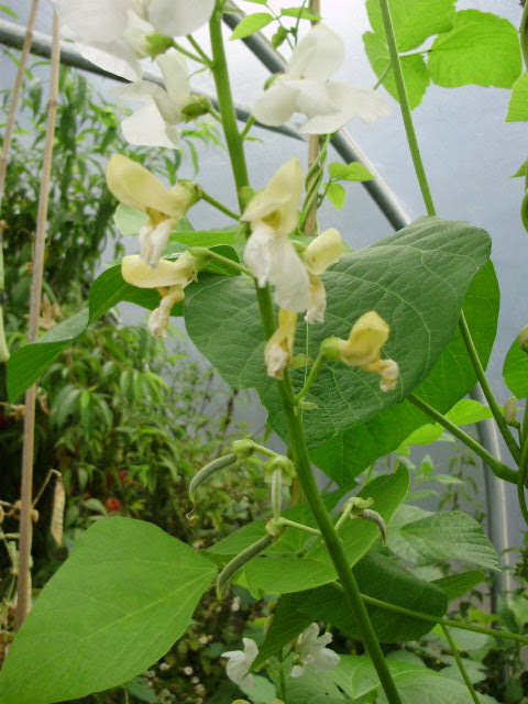 White flowered runner bean Moonlight experiment seems a success