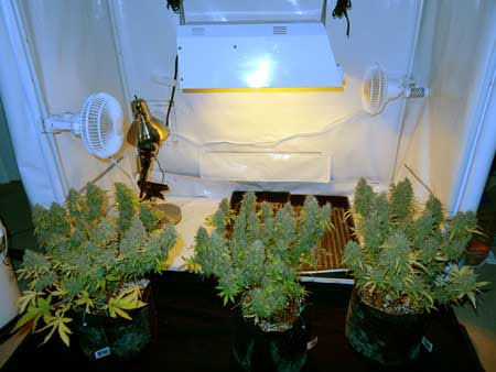 The three auto-flowering plants, not long before harvest