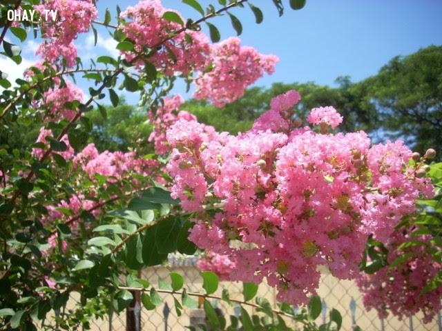Hoa Trà mi: Kiêu hảnh, coi thường tình yêu,ngôn ngữ các loài hoa,hoa đẹp,hoa ngữ