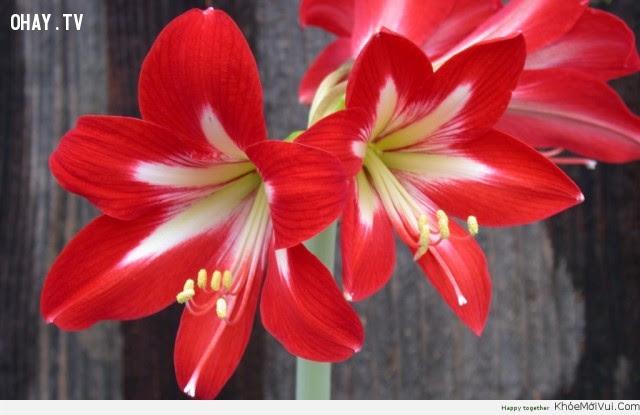 Hoa Loa Kèn đỏ - Sự tự hào,hoa ngữ,ngôn ngữ các loài hoa,hoa quả,hoa đẹp