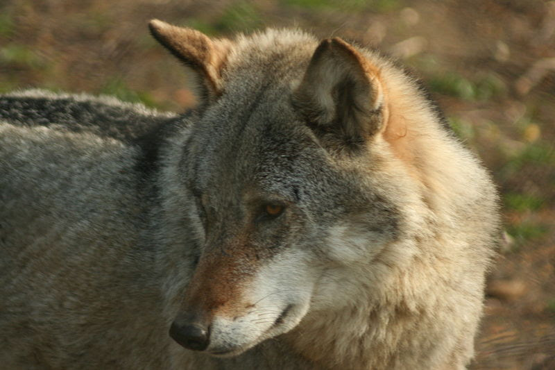 File:Canis lupus Białowieża p.jpg