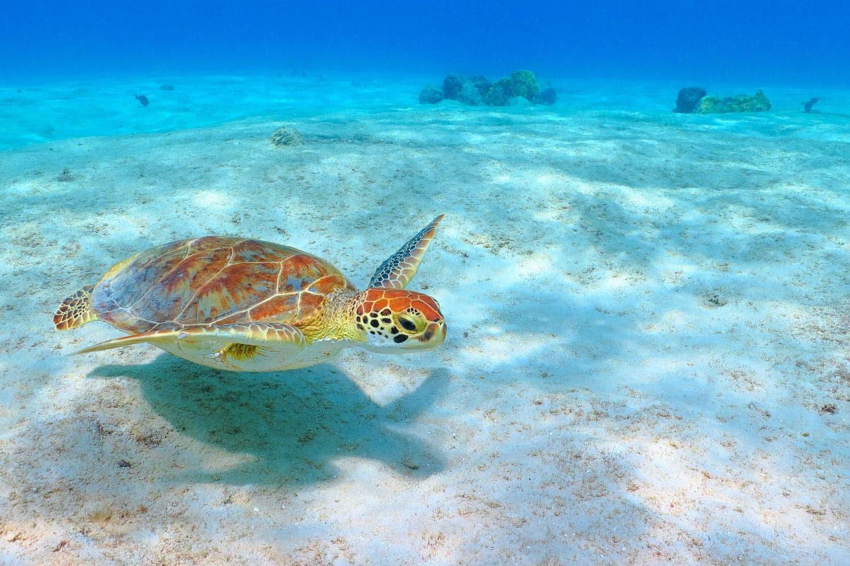 Akumal, Meksika'da kumlu beyaz deniz dibinin üzerinde yüzmeye yeşil deniz kaplumbağası (Chelonia mydas)