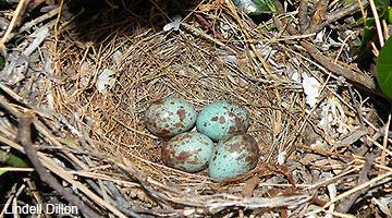 Northern Mockingbird nest with eggs.