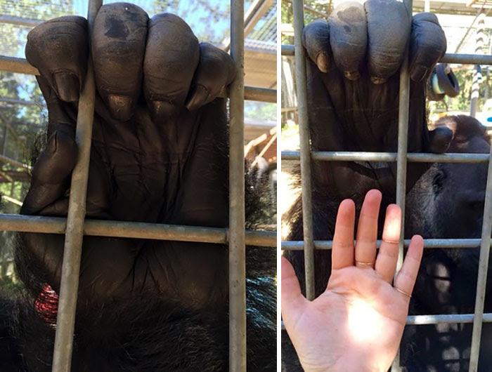 Gorilla's Hand