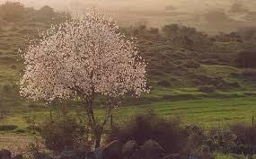 Israeli_Almond_Tree.jpg