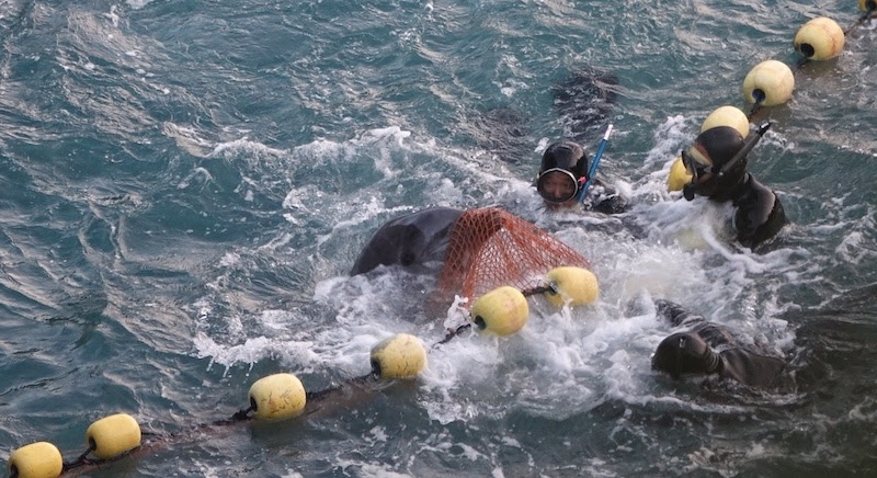 Dolphin struggles in nets during captive selection, Taiji, Japan