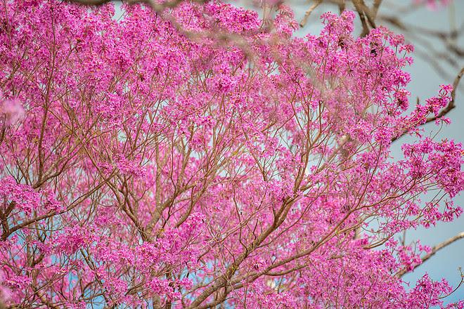 Lapacho rosado en flor (Handroanthus impetiginosus).