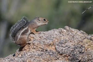 harris-anetlope-squirrell-015