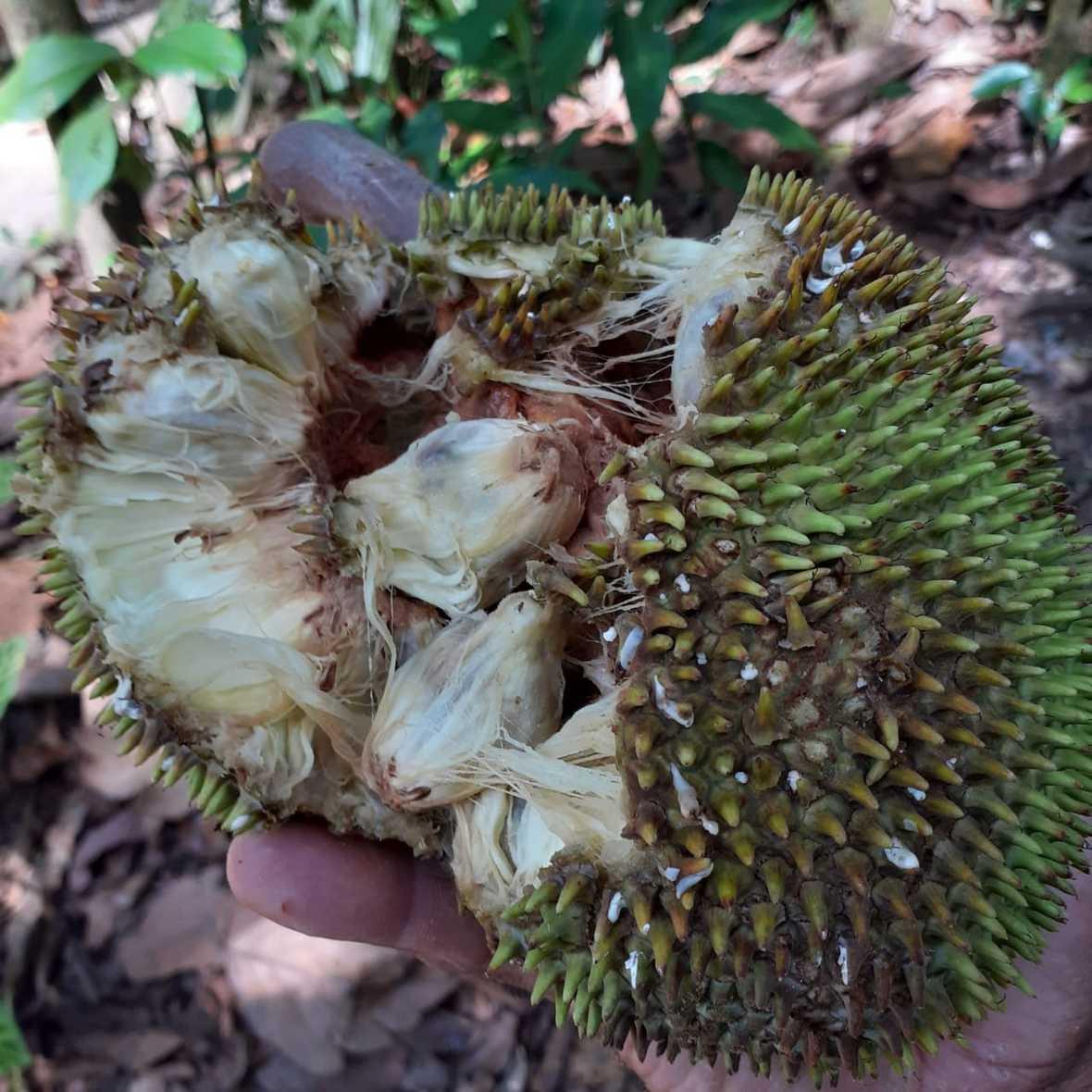 Spiky green fruit broken open to reveal fibrous white insides