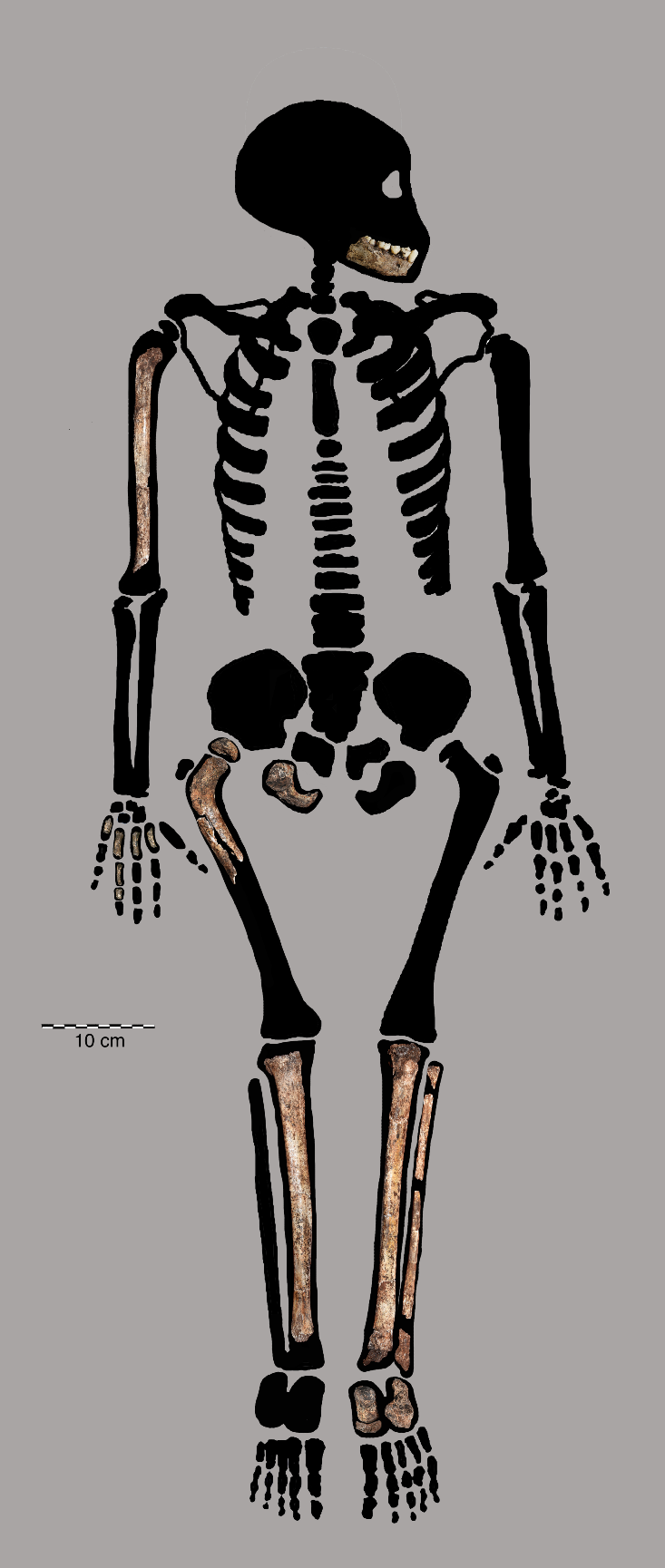 Newswise: Homo naledi juvenile remains offers clues to how our ancestors grew up