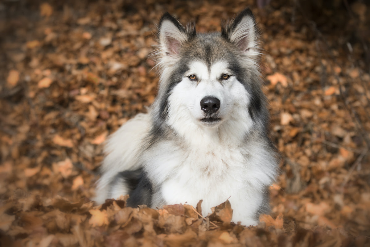 wolf hybrid is on the aggressive dog breeds list