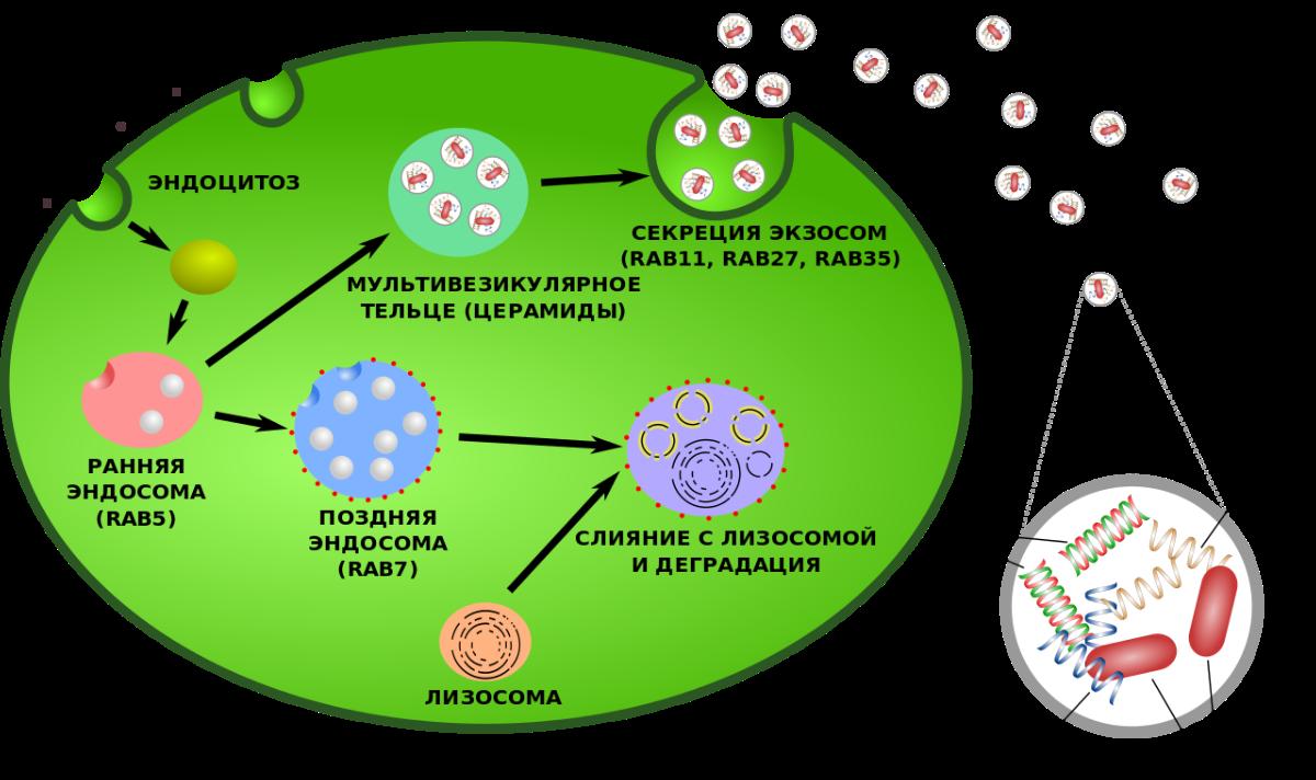 Exosome Diagram