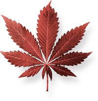 A maconha é uma mistura de folhas, caules, flores e sementes secas da planta do cânhamo. É geralmente de cor verde, marrom ou cinza.