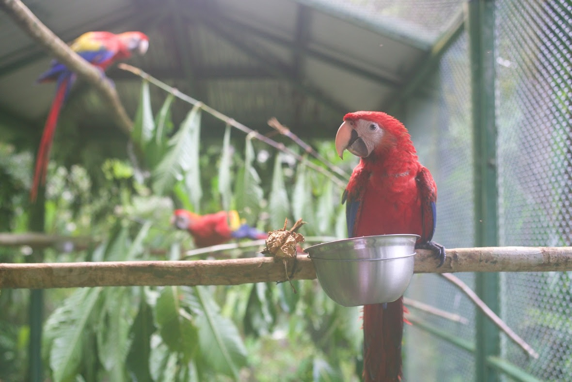 Three scarlet macaws, one in the foreground and two in the background