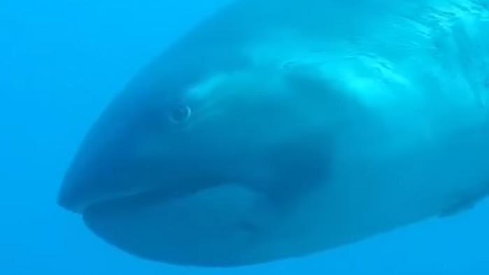 VIDEO. Une espèce rare, le requin grande-gueule, filmée par hasard par une plongeuse en Indonésie