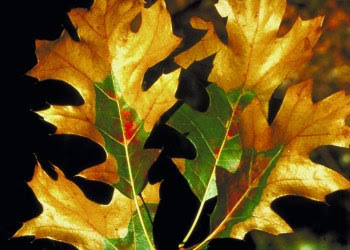 Leaves impacted by oak wilt disease.