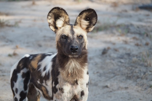12 amazing facts about African wild dogs - Discover Wildlife