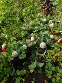 Melons raised up on pots ripening.