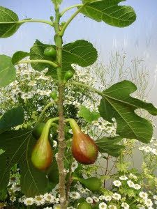 MFig 'Violetta' - ripening overwintered fruits at bottom picture, autumn fruits developing above on this year's growth.