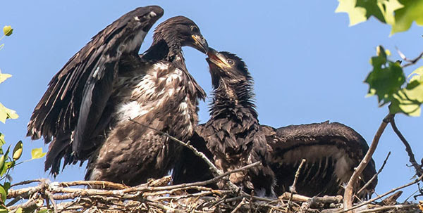 NY 62 Bald Eagle Nestlings photo courtesy of Bob Rightmyer