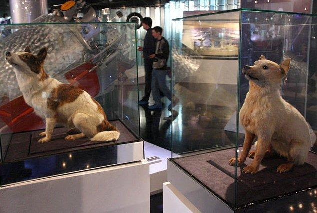 В настоящее время чучела этих собак находятся в                   Мемориальном музее космонавтики в Москве.