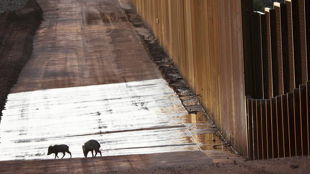 peccaries, javelina, border wall