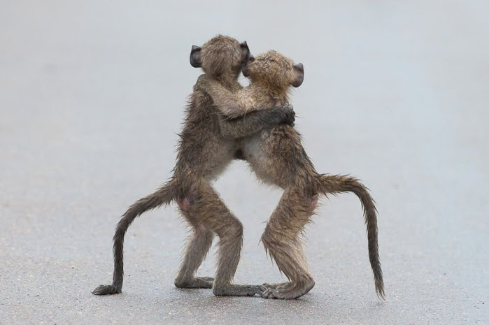 these-baby-baboons-are-going-to-be-besties-for-ever-i-know-it (700x465, 196Kb)