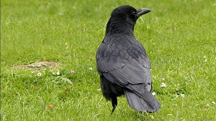 Les corbeaux pas si bêtes