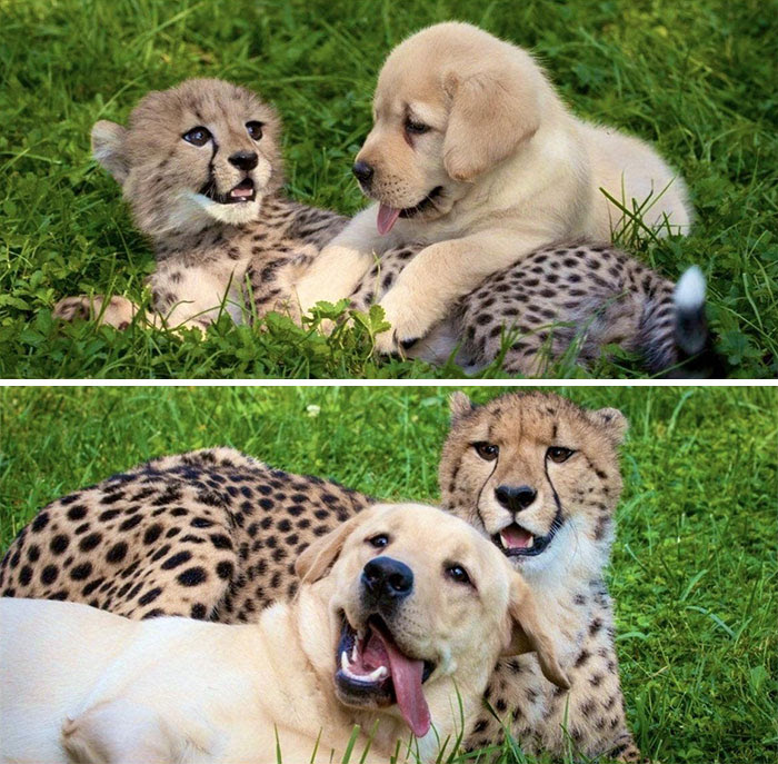 Cheetah And Doggo Stayed Best Friends From The Start!