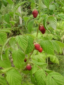 Autumn fruiting raspberry 'Joan J'