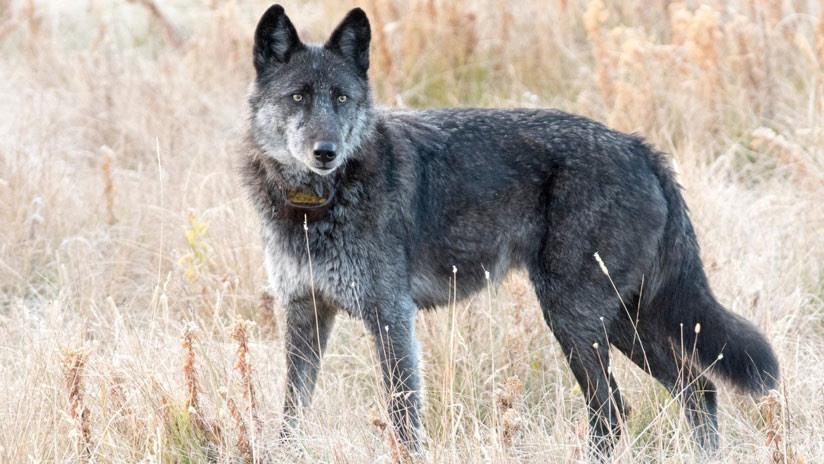 Un cazador mata a la loba más querida del parque de Yellowstone (FOTO)
