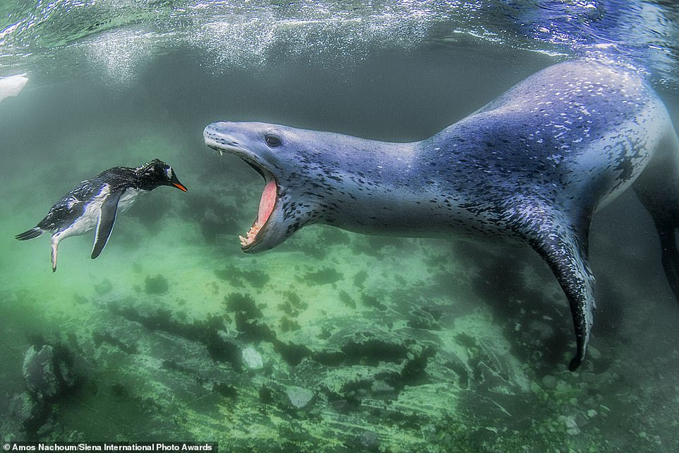 The winning image in the 'animals in their environment' category is this incredible shot of a leopard seal trying to eat a penguin. It was snapped by American photographer Amos Nachoum off Pleneau Island in the Antarctic peninsula. He said: 'The seal was hiding, waiting to ambush young penguins as they got closer. When a penguin got close enough, the seal moved extremely fast and caught the penguin by its feet dragging it to the open water. I was following parallel to the action. The seal released the penguin twice and the terrified penguin succeeded in escaping, but the seal continued chasing after it, and on the thir