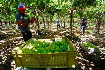 Escasez de mano de obra afecta temporada 2021 de uva de mesa en Chile