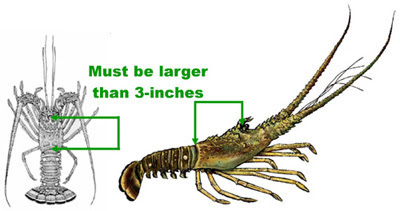 Spiny Lobster measurement