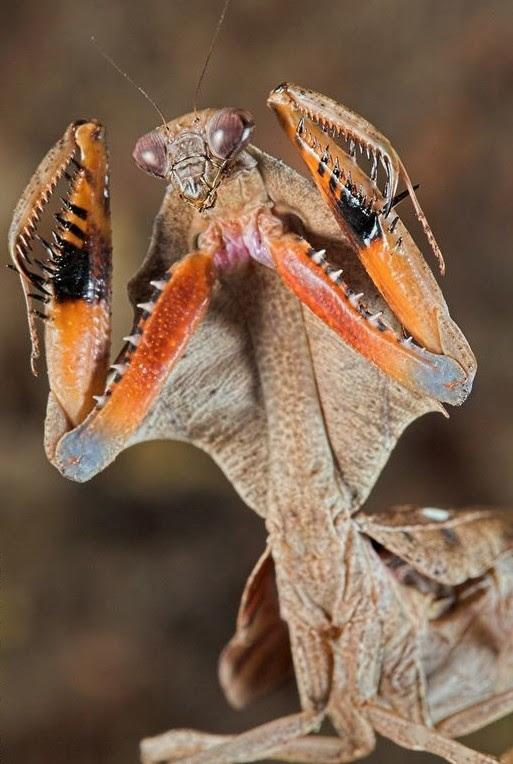 В целом состояние этой группы насекомых благополучное. Такие виды как пятнистый ирис, полосатая эмпуза и короткокрылая боливария внесены в региональные Красные книги. богомолы, интересное, красота, насекомые