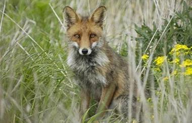 Strejfning af pelsvildt