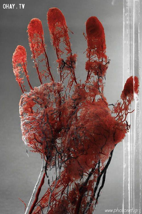 Mạch máu trong lòng tay,cơ thể con người