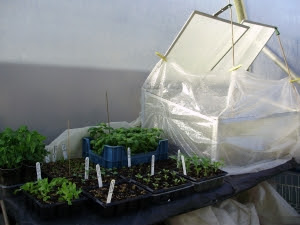 My warm propagation area - where a heated mat sits on top of an insulated bench -  (a recycled door actually!)
