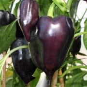 Paprika Hungarian Black (növény)